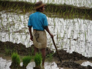 Planting rice: farmer in Chitwan