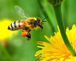 Kills honey bees too: imidacloprid close to ban in EU