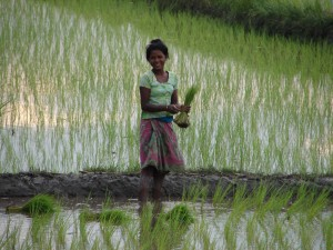 What's no longer reliable: rain for transplanting rice