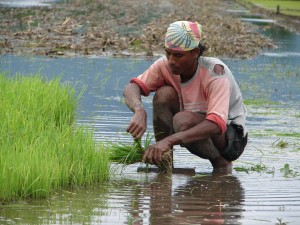 Hybrid or local seeds? Farmer transplanting rice