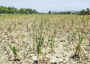 When the rain fails: drought-striken maize