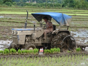 Commercialisation of agriculture: planting out hybrid rice