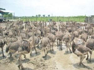 "Local entrepreneurship is very much alive too, but mainly around ""district hubs"": an ostrich farm"
